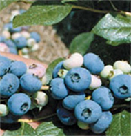 Patriot Blueberry Plants