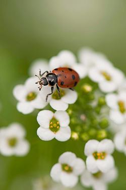 Lady beetle on sweet alyssum