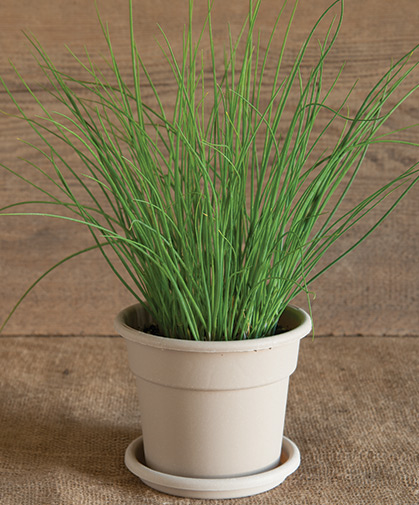 Chives disk in its pot at maturity.