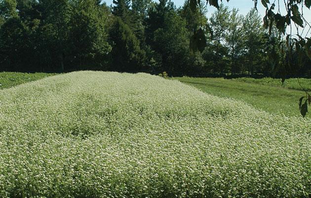 Buckwheat Planting in Johnny's Trial Fields