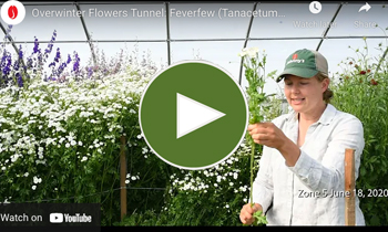 View Our Overwinter Flower Tunnel Matricaria (Tanacetum/Feverfew) Video