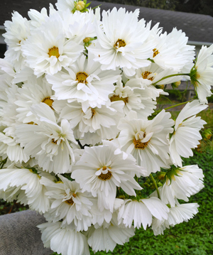 Carly Cavalier's 'Fizzy White' cosmos are always in demand for weddings.