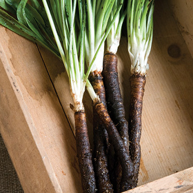How to Grow Scorzonera & Salsify