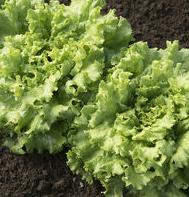 Muir Head Lettuce