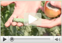 Tomato Hornworms